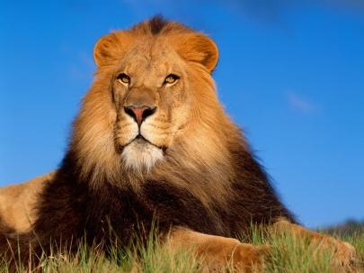 Lion_Pictures-935802