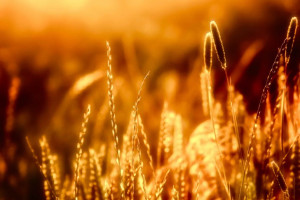 Sunset-light-of-golden-hour-through-meadow-grass-485x728
